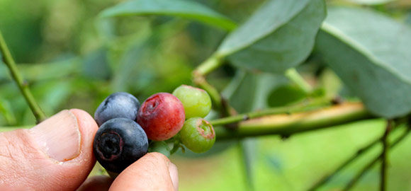 Pick Your Own Blueberries This Summer!